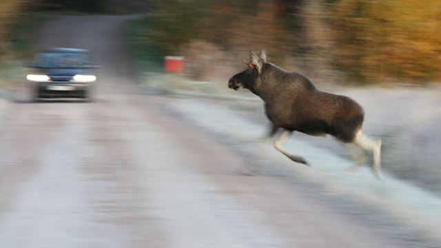 Каковы последствия ДТП с участием животного?